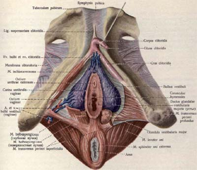 Рис. 1. Мышцы тазового дна (иллюстрация из Атласа анатомии человека Р.Д. Синельникова,