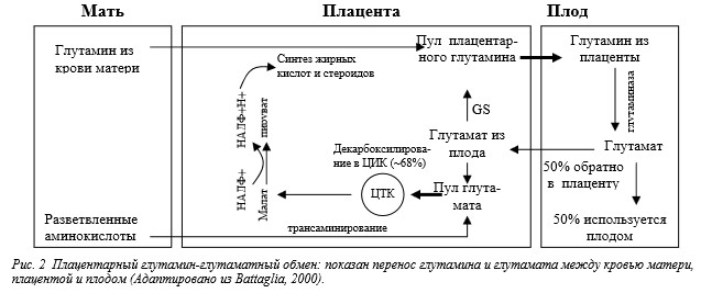 Глутамин у плода и у находящихся в критическом систоянии новорожденных с очень низким весом при рождении: метаболизм и механизм действия