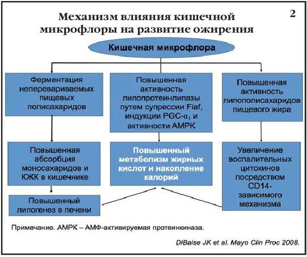 Механизм влияния кишечной микрофлоры на развитие ожирения
