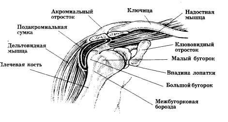 Плечевой сустав (вид спереди): пальпируемые ориентиры