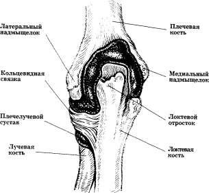 Локтевой сустав (вид сзади; боковые связки удалены)