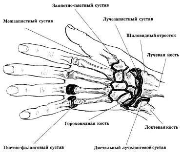 Суставы и некоторые анатомические ориентиры кисти