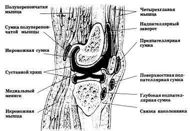 Коленный сустав (схематический сагиттальный распил)