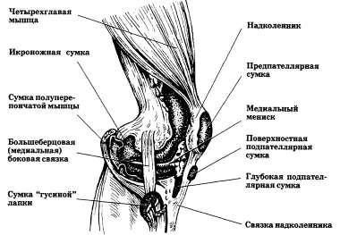 Коленный сустав (медиальная сторона)