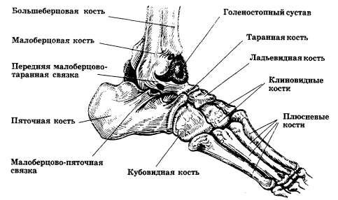 Голеностопный сустав, кости стопы (вид сбоку)