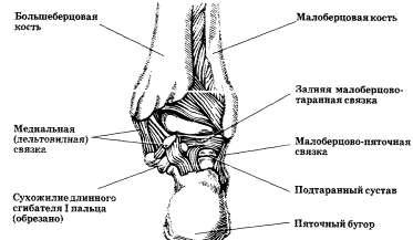Суставы и связки стопы: правая стопа. Вид сзади (суставные сумки удалены)