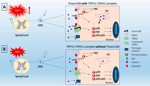 Капсаицин может вызвать жжение и боль Механизмы капсаицин-индуцированных боли. При наличии Tmem100 (А) активации TRPV1-TRPA1 комплекс увеличивает приток кальция и способствует повышению уровня восприятия боли. С другой стороны, без Tmem100 (B) TRPV1-TRPA1 комплекс производит более низкий приток кальция, поскольку TRPA1 находится в неактивированной конформации. Черная тонкая стрелка: нисходящий приток кальция; Черная стрелка толще: восходящий приток кальция; DRG: ганглий дорсальных корешков; ER: эндоплазматической сети; ПКС: протеинкиназа С.