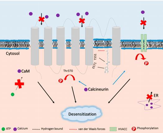 """Капсаицин может вызывать потерю чувствительности к боли. Механизмы капсаицин-TRPV1 взаимодействия и десенсибилизации. Капсаицин прилегает к TRPV1 """"'хвост вверх, конфигурация вниз головой"""" и увеличивает приток кальция. Вторичный эффект из-за притока кальция - активация кальций-зависимых ферментов, таких как кальцинейрином, который дефосфорилирует TRPV1, подавляет HVACC, который достигает высшей точки в TRPV1 десенсибилизации. Кроме того, Кэм предотвращает АТФ-индуцированное повышение чувствительности TRPV1 , конкурирующих за такой же внутриклеточный карман . CaM: кальмодулин; HVACC: активированные кальциевые каналы; ER: эндоплазматической сети."""