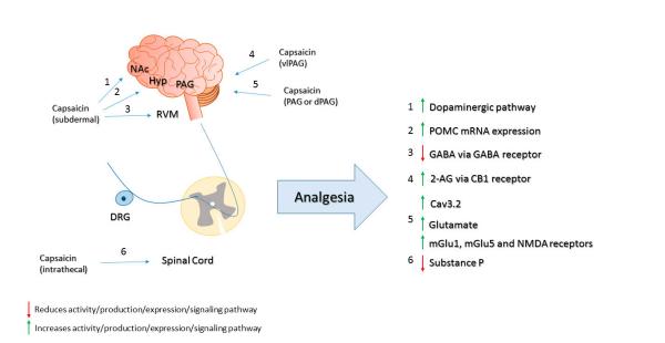 Капсаицин может обезболивать. Механизмы капсаицина-индуцированной анальгезии. Капсаицина производит обезболивание путем модуляции дофаминергические пути в NAC (1), пути опиоидов в гиппокампе (2) [98], а также активности ГАМКергической в РВМ (3). Кроме того, капсаицин активирует эндоканнабиноид-пути (4)и dPAG путем модуляции глутамат-сигнального пути (5) . Капсаицин истощает вещество Р, а также производит обезболивание (6). DRG: ганглий дорсальных корешков; NAc: прилежащеий к ядру; Hyp: гиппокамп; РВМ: ростральныйй вентромедиальный мозговой; PAG: серого вещества; vlPAG: вентролатеральный головного мозга; dPAG: спинные серого вещества;